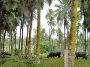 Coconuts and Cattle