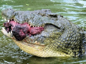 Crocodile with a Side of Beef