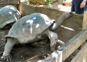 Tortoise Looking for a Handout